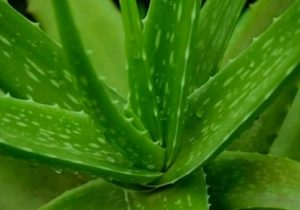 The Benefits Of Lidah Buaya Aloe Vera